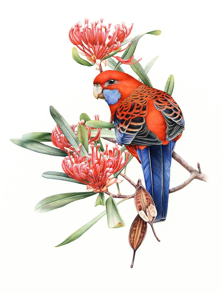 Crimson Rosellas and Waratah (Telopea truncata) ~ by Heidi Willis