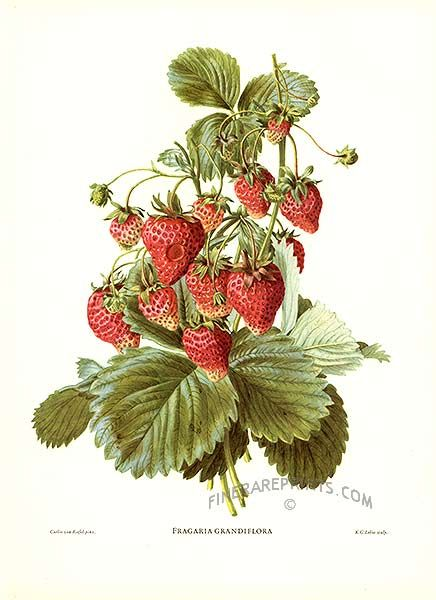 1000 images about vintage strawberry illustration on