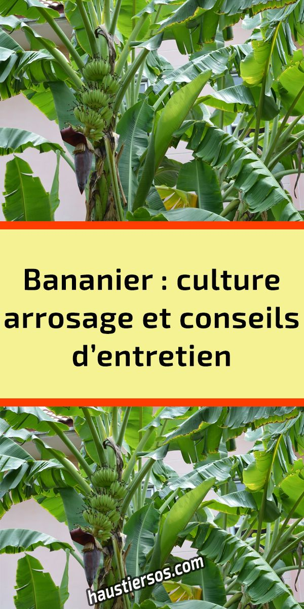 Bananier culture, arrosage et conseils d'entretien en