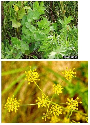 Wild parsnip - poisonous.  Causes blisters and burning.