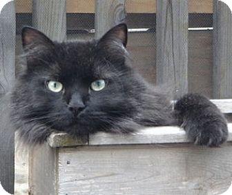 British cat toronto
