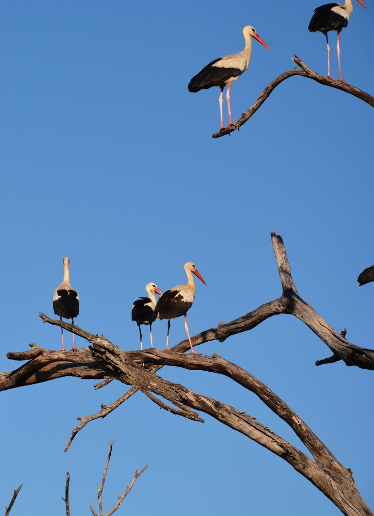 Picture of storks on a tree.