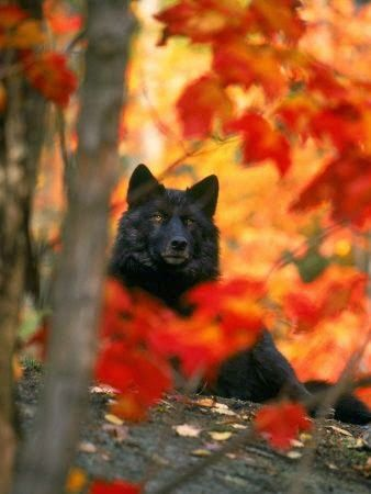 Black Timber Wolf in Autumn