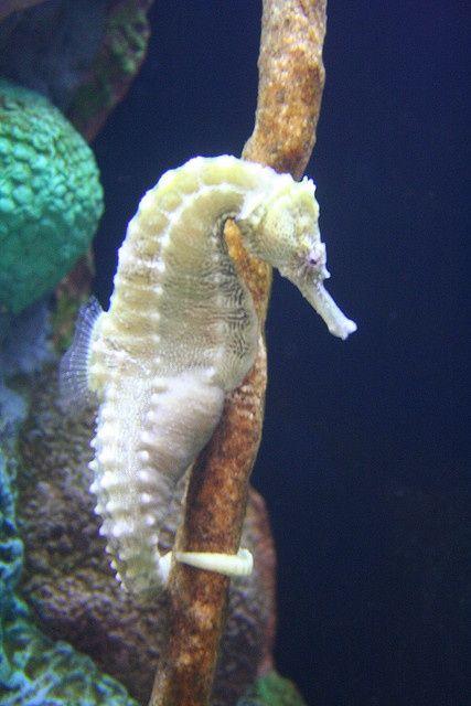 ~ Albino seahorse ~