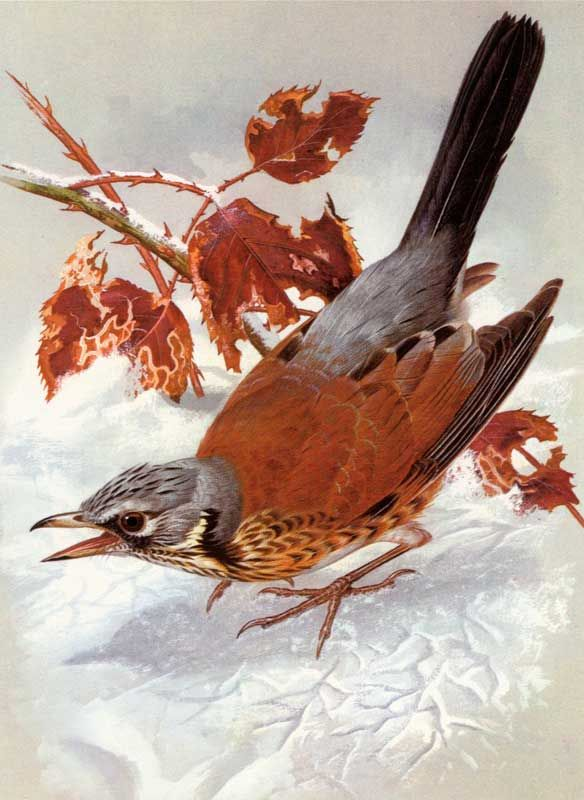 можно увидеть старые картинки птиц фокус