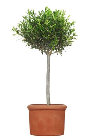 Design#5001205: 17 best ideas about olivenbaum on pinterest | olivenbäumchen .... Terrasse Gestalten Olivenbaum