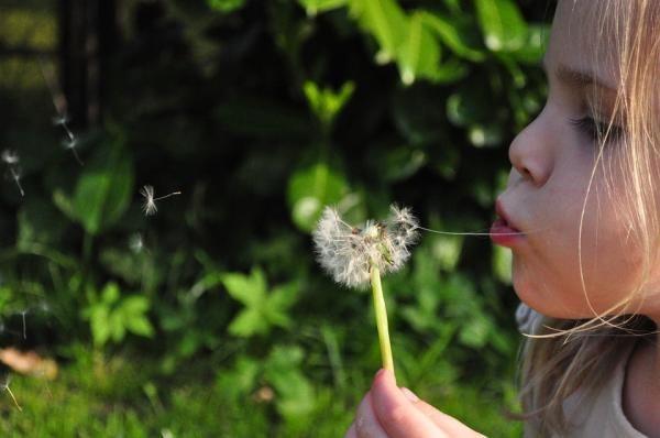 Como plantar dente-de-leão. O dente-de-leão é uma erva bem comum em jardins e beiras de rua, dando um toque especial à paisagem com suas flores amarelo ouro e sendo as preferidas dos mais pequenos, pois se divertem soprando suas...