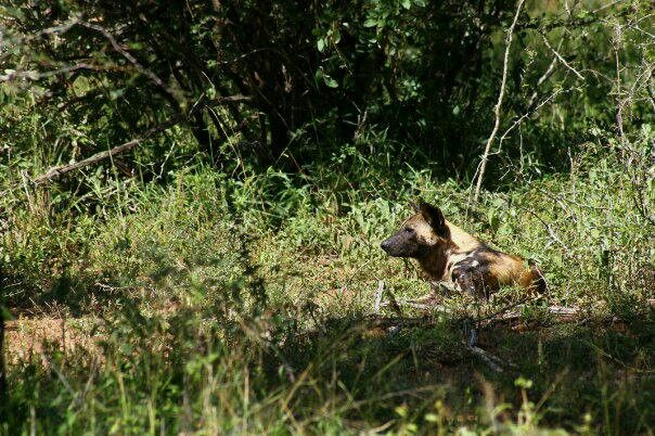Wild dog or Painted dog - Kruger Park