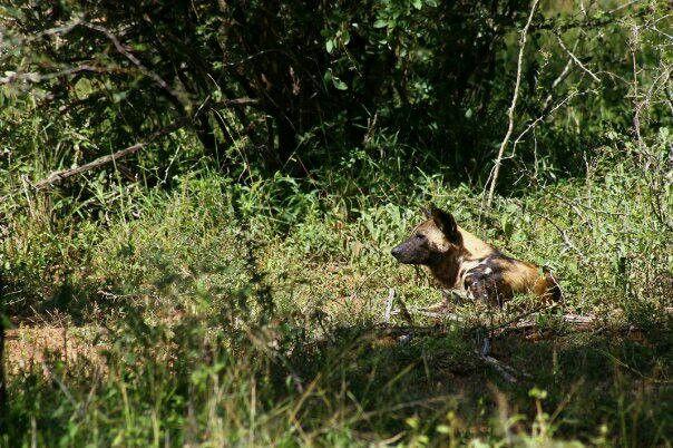 Wild dog or Painted dog - Kruger Park