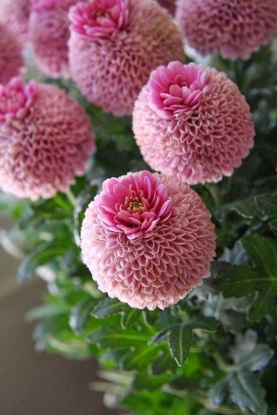 Beautiful Crown Chrysanthemum#flowers