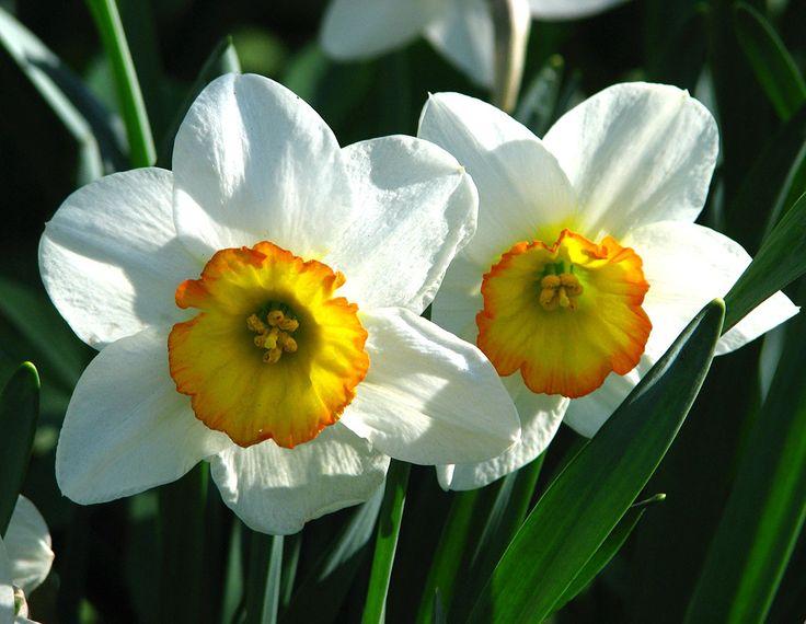 Znalezione obrazy dla zapytania Narcyz Flower Record