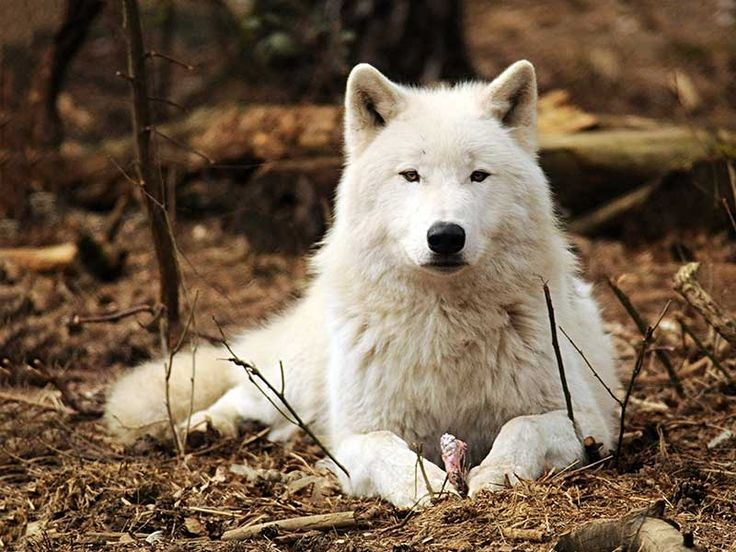 Wolf Gallery, Images, Pics, Photos, Pictures, Photography