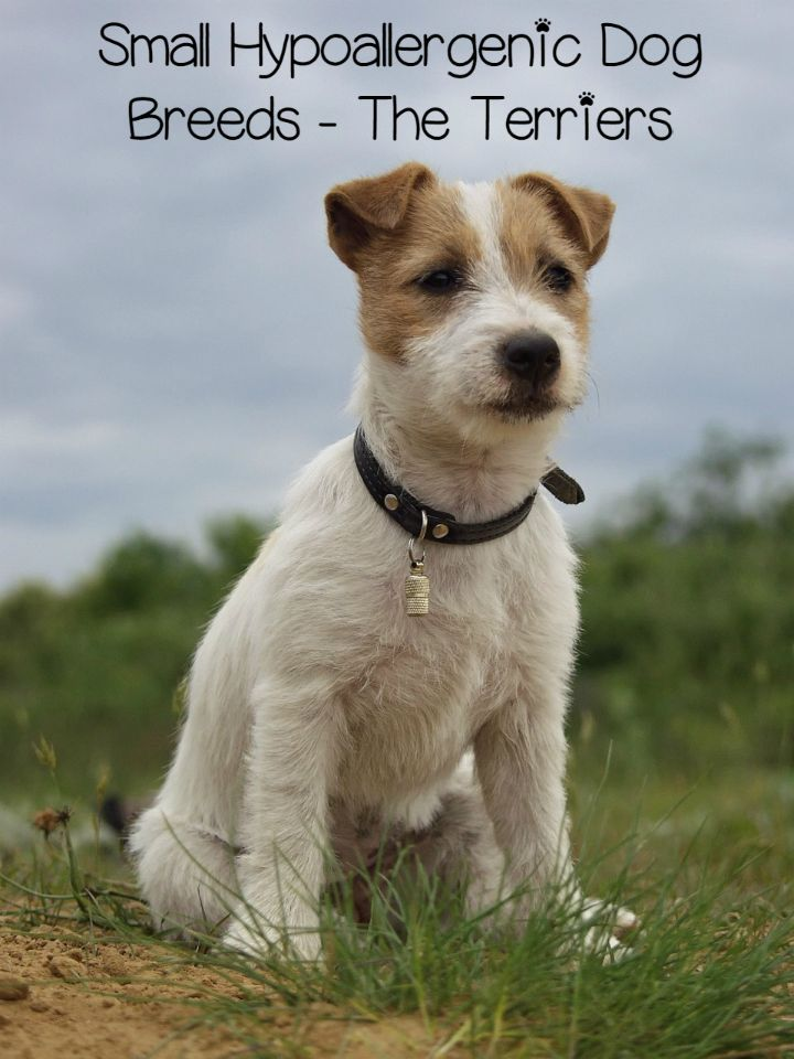 We're covering the terrier group of small hypoallergenic dog breeds today. Check out this energetic slice of the small hypoallergenic dog breed pie!