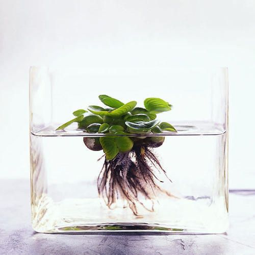 Indoor Plants Grown In Water: Indoor Water Garden, Plant In Glass, Plants
