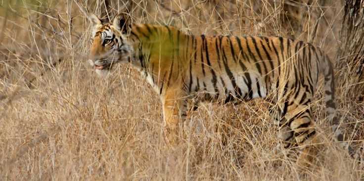 List of top 50 national parks and wildlife sanctuaries of India which has some of the world's most beautiful and endangered species of fauna and flora. #Travel