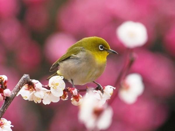 メジロ(スズメ目)の投稿写真。タイトルは春の訪れ                                                       …