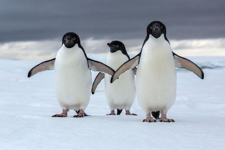 気候変動の脅威に直面している南極大陸のアデリーペンギン。(PHOTOGRAPH ...