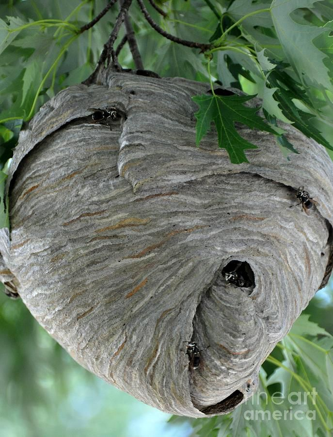 paper wasp nests for sale | ... Photograph by Donna Harlev - Hive Fine Art Prints and Posters for Sale