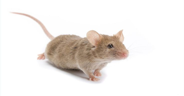 """Cómo usar la menta para repeler ratones. Mantener a los ratones alejados para que no invadan una casa puede ser una labor frustrante para algunos porpietarios. Mientras que algunas casas tienden a no atraer ratones, otras, en particular casas viejas, tienden a ser """"magnetos de ratones"""". Repeler ratones puede ser una labor dura, en parte porque los métodos usados para deshacerse de ellos ..."""