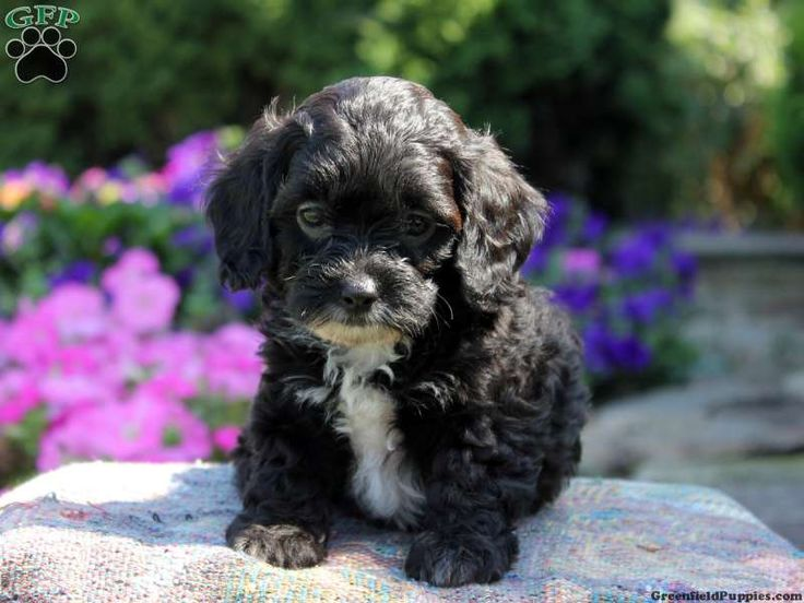 Cammie dachshund mix puppy for sale in pennsylvania
