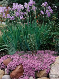 Make your rock garden sparkle with a generous helping of soapwort. During Colonial times the sap of this pretty plant was once boiled to form a lathery soap that was used to launder clothes. Today, however, soapwort is prized for it's fragrant pink flowers that will lure butterflies to your garden.