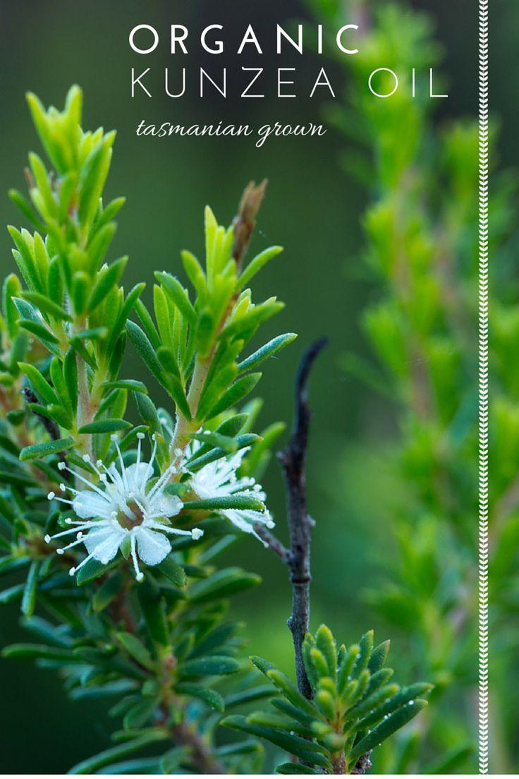 #kunzea #relief #pain #organic #tasmania
