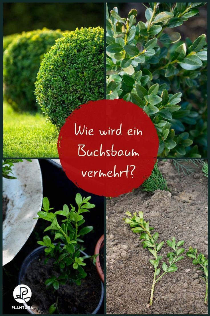 Buchsbaum Stecklinge