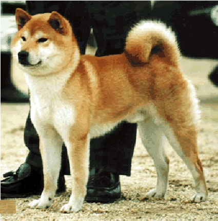 Best Shiba Inu Puppy Images On Pinterest Shiba Inu Akita And - Three shiba inus stick their heads through wall to greet passers by
