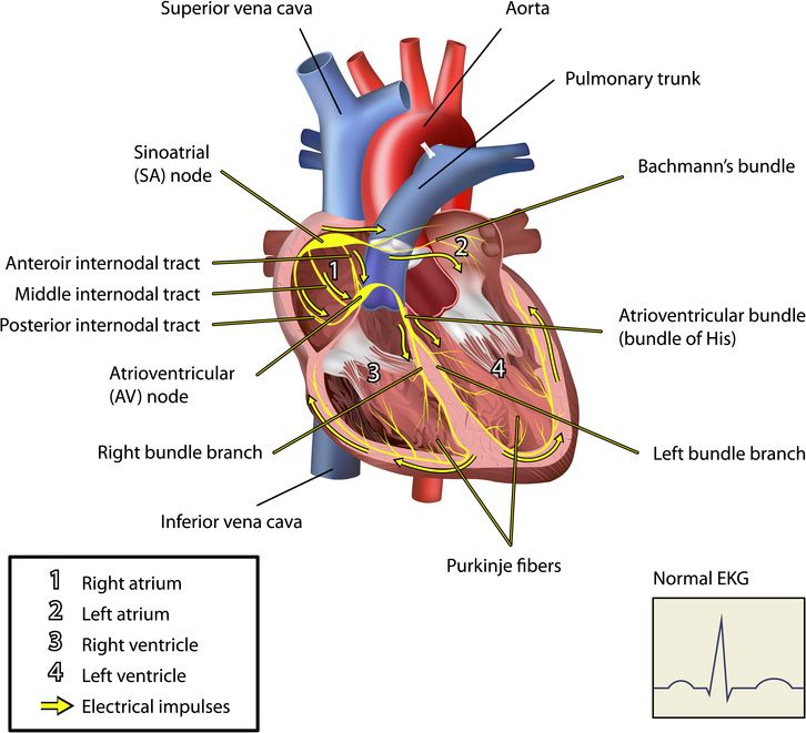 how the heart works - 726×661