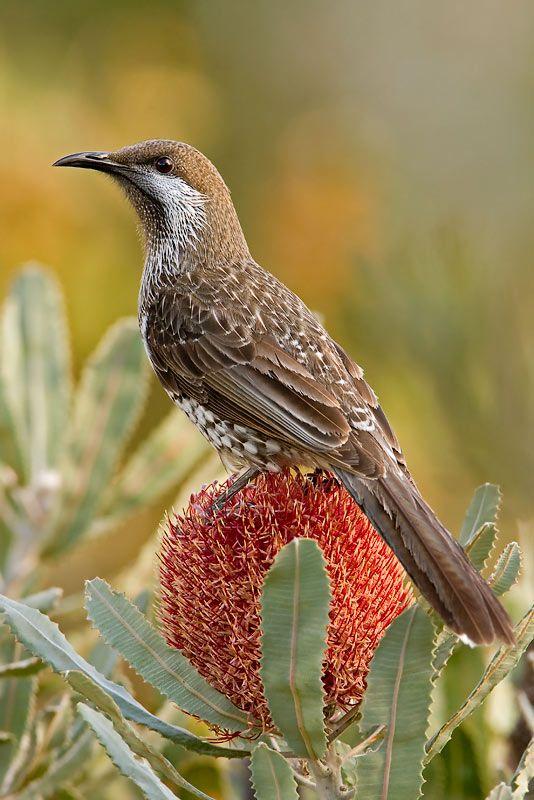 Western Wattlebird (Anthochaera lunulata) - is a honeyeater, a passerine bird…