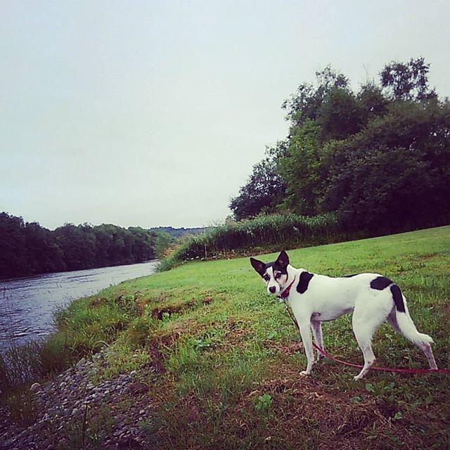 早朝散歩。#こむぎ #元保護犬 #中型犬 #Mix犬 #愛犬 #お散歩 #ウォーキング #健康 #朝活 #早寝早起き #土曜日からの #雨で #川の水 #増えてるね #の顔 #今日は #犬友さんに #会う日 #飼い主が緊張 #田舎 #自然 #北海道 #連休最終日