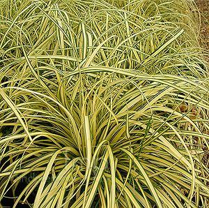 Image result for Carex oshimensis 'Evergold' (v)
