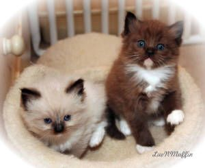 Want a ragamuffin kitten, someday