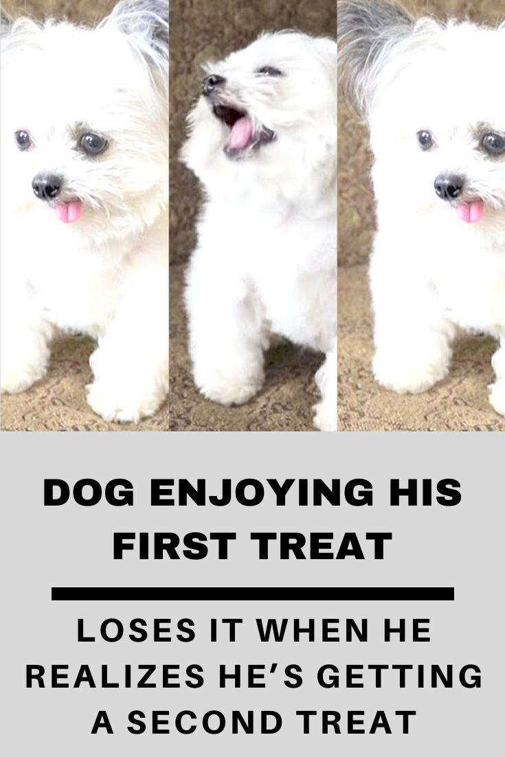 Dog Enjoying His First Treat Loses It When He Realizes He S Getting A Second Treat In 2020 With Images Therapy Dogs Dogs Enjoyment