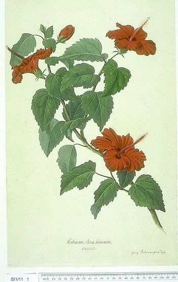 14 best hibiscus images on pinterest botanical art botanical botanical illustration hibiscus rosa sinensis l ccuart Image collections