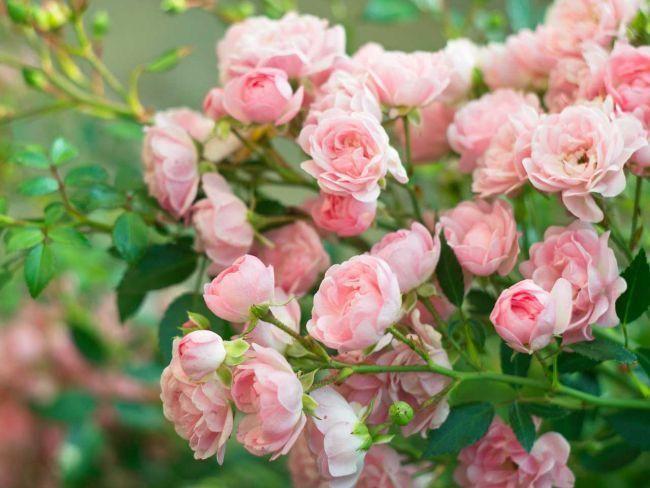 Садовые розы – настоящее украшение цветников и розариев. Роза вполне заслуженно пользуется славой «королевы» цветов, и получила всеобщее признание цветоводов во всём мире. Достаточно часто возникает н...