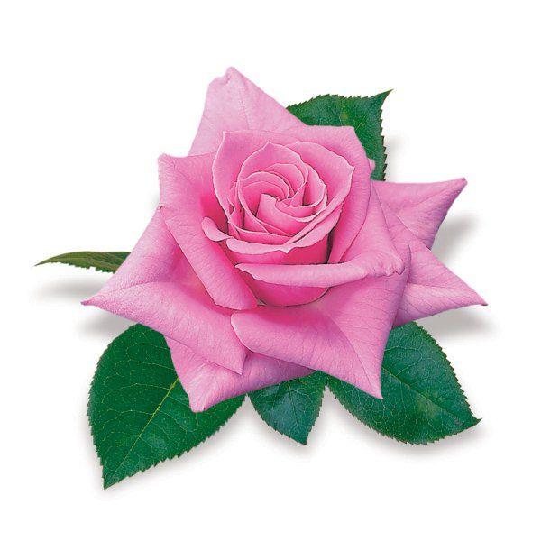Róża wielkokwiatowa różowa - Rosa 'Criterion'
