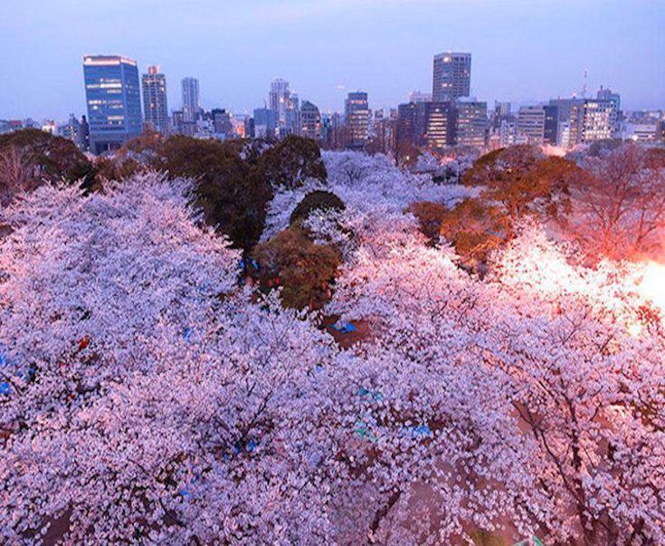 Con la llegada de la primavera comienza uno de los acontecimientos mas  bellos y esperado por los japoneses,el florecimiento de la Sakura. La Sakura,  flor del cerezo japonés es uno de los símbolos más conocidos de su cultura. Entre finales de Marzo y comienzos de Abril, dan la tradicional bienvenida a la …