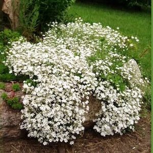 White Creeping baby's breath seeds - Garden Seeds - Perennial Seeds    http://www.swallowtailgardenseeds.com/perennials/babys_breath.html