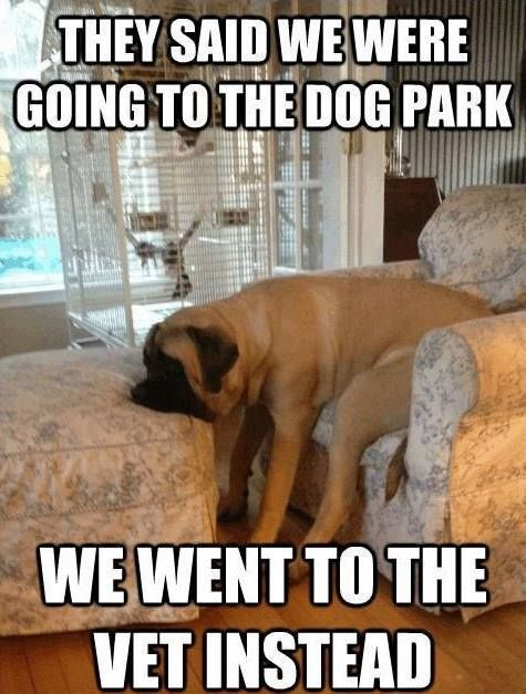 5761b9f852a46900b30246922710c828 funny dogs funny animals 32 best english mastiff images on pinterest english mastiffs