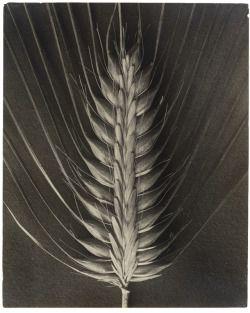 "theegoist:  "" Karl Blossfeldt - Hordeum distichum - Gelatin silver print Print (1920–32)  https://www.moma.org/interactives/objectphoto/objects/83719.html  """