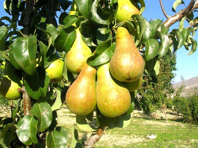 Как обрезать грушу. Что бы груша наградила вас обильным урожаем, ее нужно ежегодно обрезать. Главное обрезать дерево нужно в период, когда растение пр...