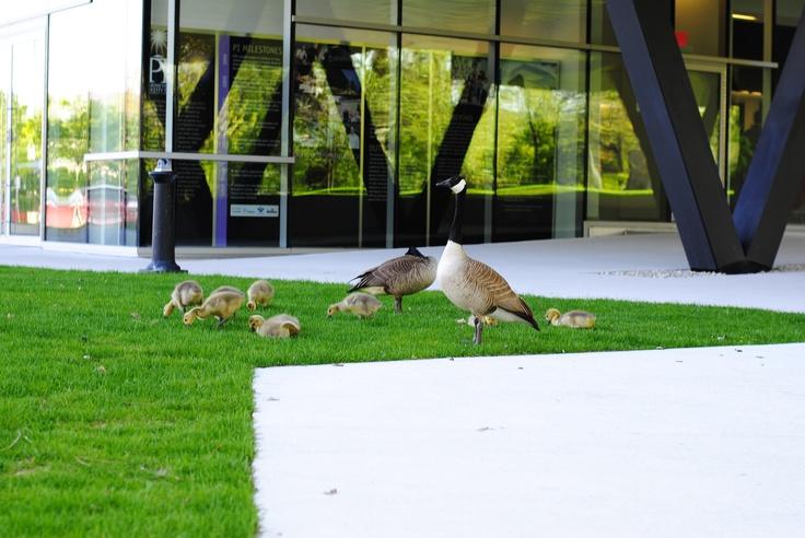 Baby geese! so cute