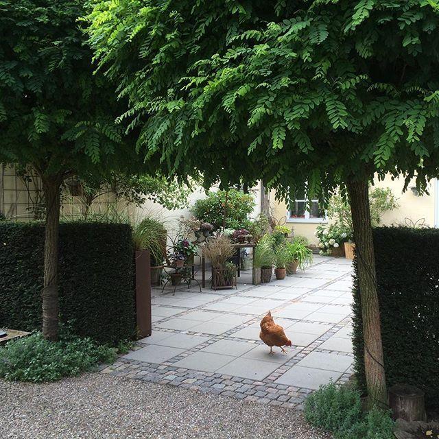 Vid det här laget vet ni hur barnsligt förtjust jag är i gatsten, klotrobinia och trädkronor som svävar över häckar. Men jag tycker också att det är oerhört charmigt med höns. Men det är min man tydlig med. Det kommer aldrig att hända . Bilden med bara favoriter är tagen i Mariannes have @tidensstauderdesign / Chickens are a charming feature in the garden #höns #chickens #trädgårdsdesign #trädgård #trädgårdsdrömmar #trädgårdsinspiration #puutarha #trädgårdsrum #jardin #giardino #garden…