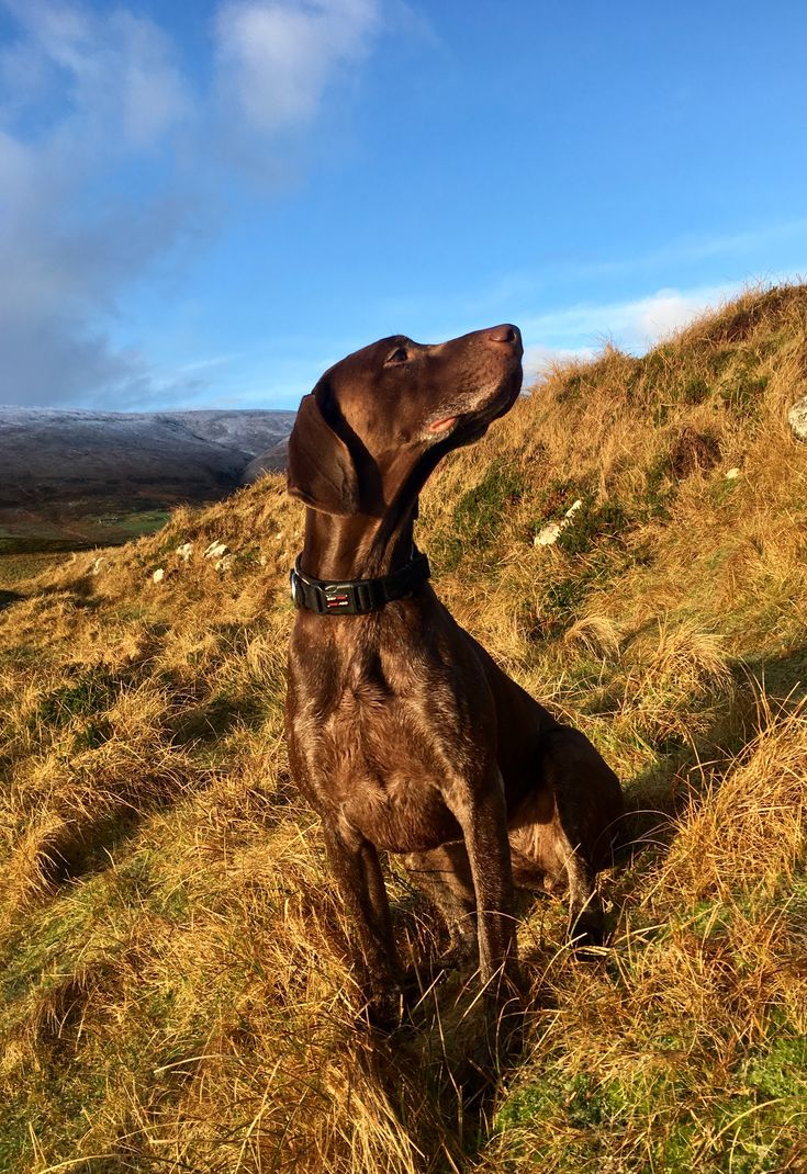This is Luna our lovely lunatic GSP! We offer comfortable self catering cottages which were once the home of Victorian lighthouse keepers. All rooms have stunning views looking out over the sea towards the Pentland Firth or across the hills of Hoy (the highest in the Orkney Islands). From the iconic lighthouse you can walk to explore the Hills of White Hamar wildlife reserve just next door, to a nearby sandy beach, or just watch and capture the passing sea birds, dolphins and whales.