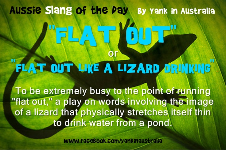 "Okay, here's some more Aussie slang for you! ""FLAT OUT...like a lizard drinking"" To be extremely busy to the point of running ""flat out"" a play on words involving the image of a lizard that physically stretches itself thinto drink water from a pond. #yankinaustralia #australia #aussielingo"