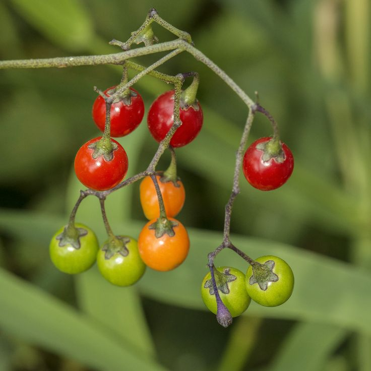 Beautiful https flic kr p XpDvd Colorful Nightshade Fruits Since I am most familiar with black nightshade fruits these little tomatoes same family caught