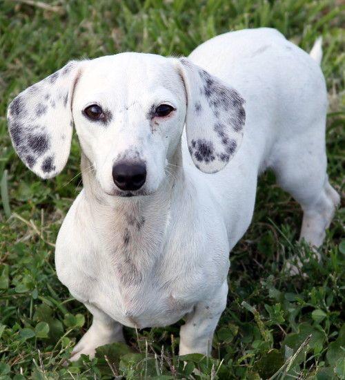 rare black #dachshund Black And White Dachshund Rare Blue and tan