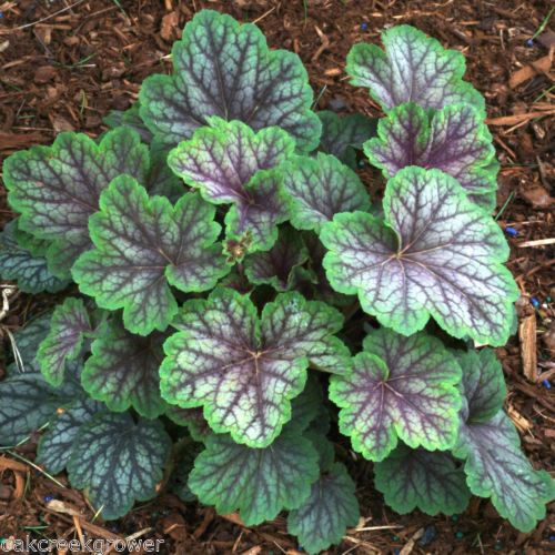Heuchera green spice beautiful shade healthy coral bells live potted plant coral bells - Seven tricks for healthier potted plants ...