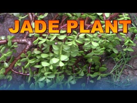Jade Plant,Crassula, Money ,Friendship,Lucky Plant from Cutting